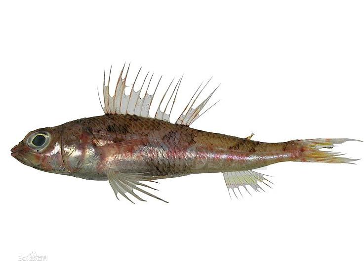 台湾仙女鱼