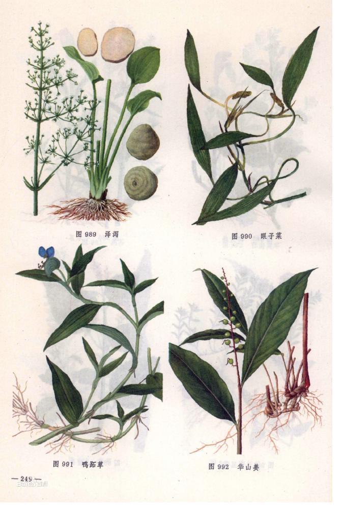 rdna)的序列分析, 对代表了基部被子植物和单子叶植物主要谱系分支的图片
