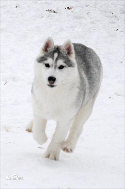 哈士奇是不是雪橇犬_哈士奇犬