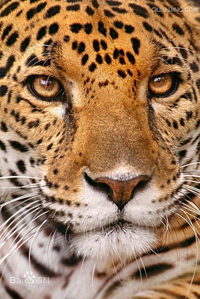 美洲豹图片 百度百科