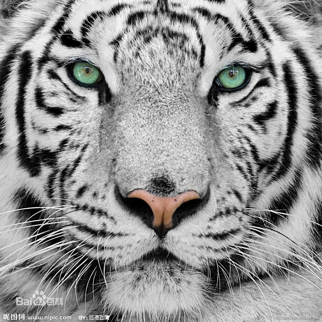 老虎图片_百度百科图片