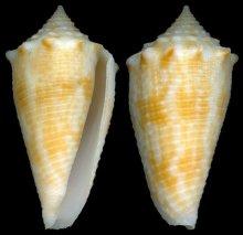 海尔格芋螺