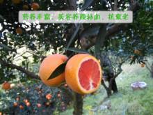 中华红肉脐橙种植园
