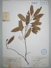仔榄树属物种