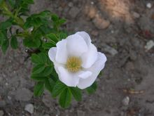 植物学的白玫瑰 Rosa rugosa