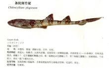 条纹斑竹鲨