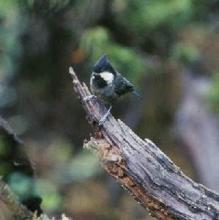黑冠山雀美洲豹相当于什么图片