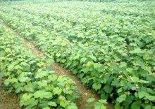 红乳葡萄生产园
