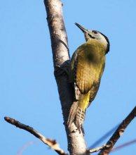 灰头啄木鸟印巴亚种