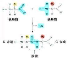 多肽链图表