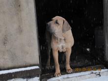 菲拉.巴西里罗犬