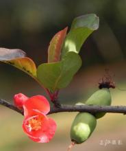 木瓜花(海棠花)