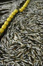 挪威鲱鱼的各种图片