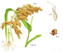 高粱植物形态图