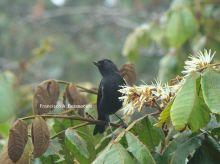 委内瑞拉刺花鸟