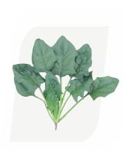 孟山都蔬菜玉米品种