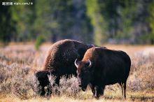 高加索野牛