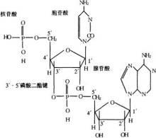 核糖核苷酸