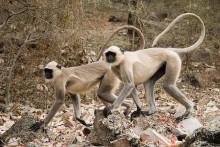 长尾叶猴图册图片