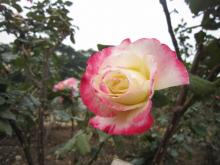蔷薇目之月季