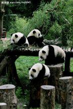 大熊猫亚科动物