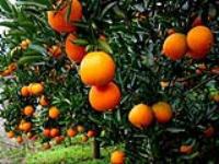 福本脐橙种植园