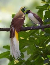 极乐鸟繁殖季节配对