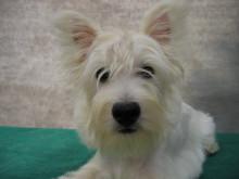 西高地白绠犬