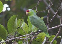 红额亚马逊鹦鹉哥伦比亚亚种