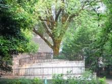 香樟树形状