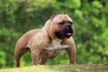 美国恶霸犬图片