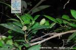 杨梅叶蚊母树花果