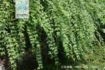 云南素馨枝叶