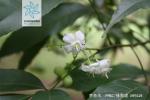 茶条木花果