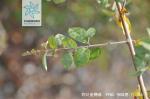 钩刺雀梅藤枝叶