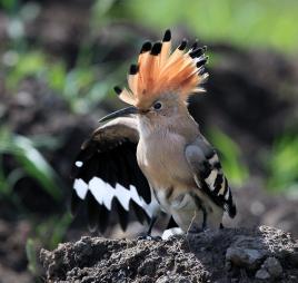 写动物叫声的词语_壁纸 动物 鸟 鸟类 雀 268_254