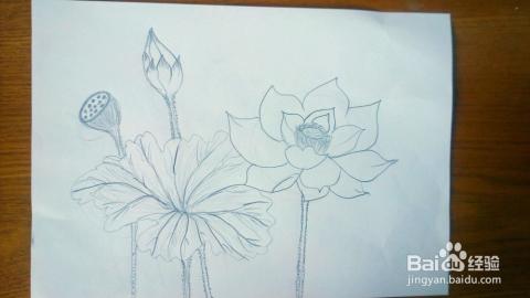 荷花铅笔画的画法图片