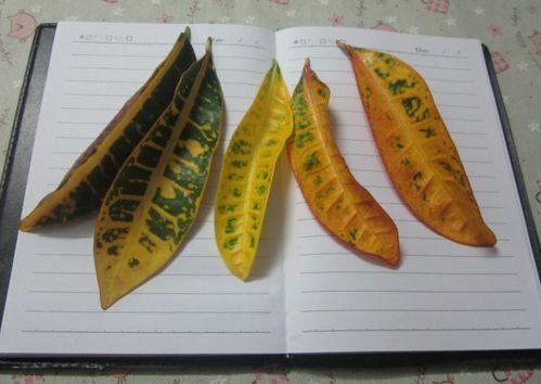 教你如何用叶子制作鱼标本图片