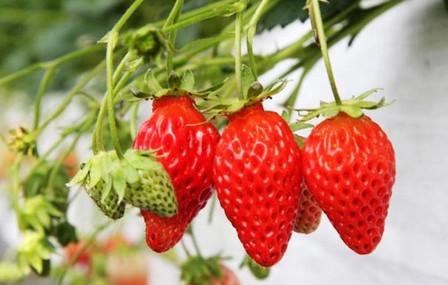 【5折】北京美国阿尔比草莓礼盒(净含量2kg)5环内包送图片