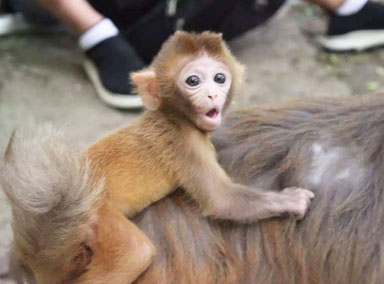 受伤猕猴误进农村养殖基地