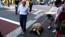 """太霸气!日本""""龟仙人""""街头遛巨龟"""