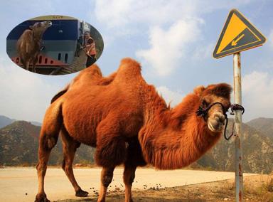 任性!骆驼肉体挡列车