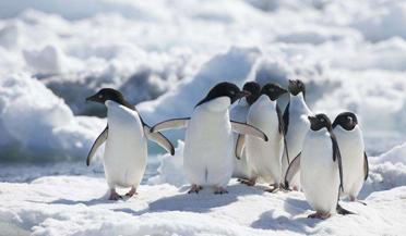 萌化了!华东首只自主繁育阿德利企鹅