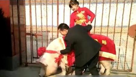真正的猪八戒背媳妇 养猪户用千斤肥猪迎接新娘