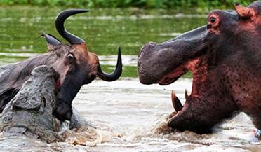 实拍两河马大战鳄鱼解救牛羚