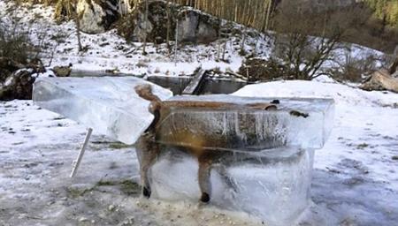 """严寒袭欧洲60人死 狐狸掉进冰河成""""冰雕"""""""