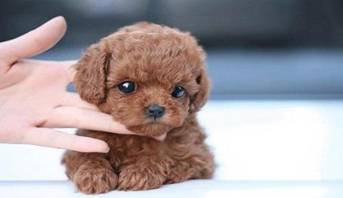 泰迪犬的喂养方式,新手养宠一定要注意