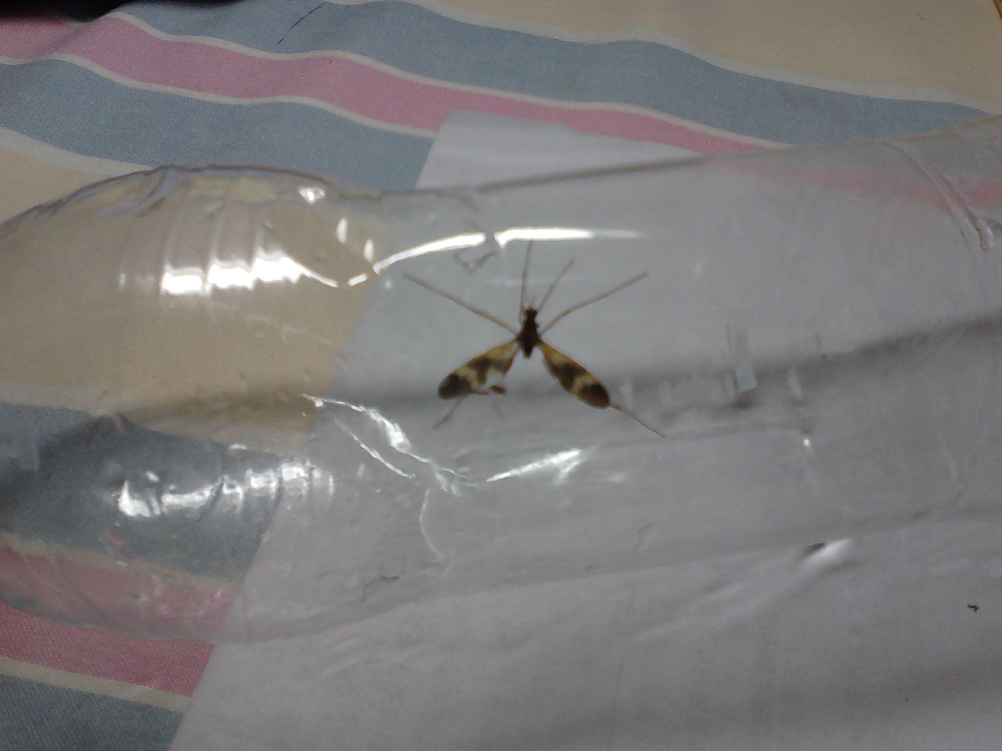 六足 双翅黑黄相间 外形酷似蚊子.嘴上有一个类似于蚊子的高清图片
