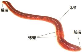 摸蚯蚓时,蚯蚓的身体是