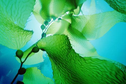 海洋里當然也有植物的,就是海藻植物,下面講講什么是海藻植物.圖片